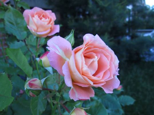 bloem-8-601890_10151969200384062_2140488490_n