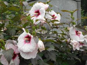 Rose of Sharon flowers - the bane of the Japanese in Korea.  Unbelievable!