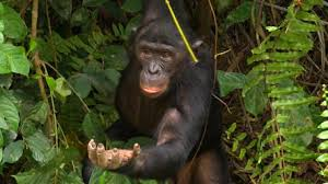 "One of the beckoning Bonobos seen on ""60 Minutes."""